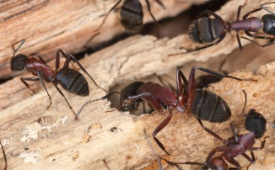 Carpenter ants