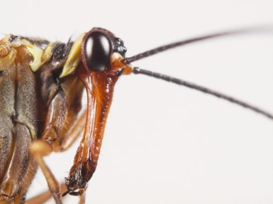 Scorpion Fly Face