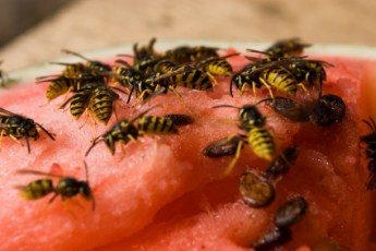 Wasps On Watermelon