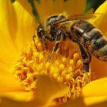 Estudio de la Universidad de Harvard demuestra que neonicotinoides causan la muerte de abejas
