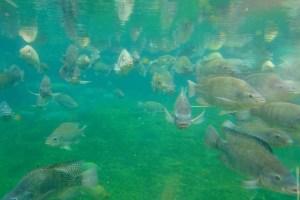 crianza de peces