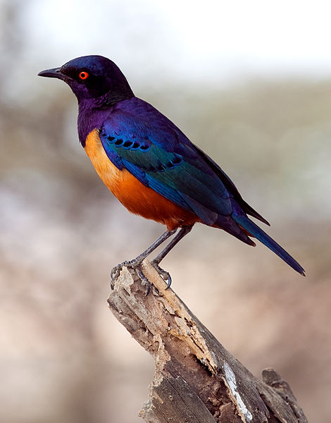 My power animal: the technicolor starling