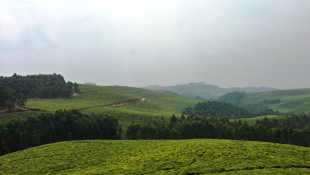 Examining the data-driven value chains that are changing Rwanda's tea sector
