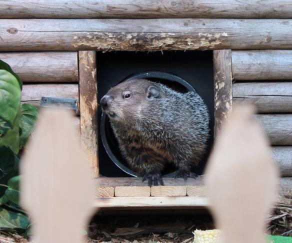 "In this Feb. 2, 2013 photo provided by the Staten Island Zoo, resident groundhog ""Staten Island Chuck"" peeks out of his cottage before emerging at the Staten Island Zoo in New York. Chuck wasn't frightened back into his home by shadow which traditionally means that spring is on its way. (AP Photo/Staten Island Zoo, Katherine Zarr)"
