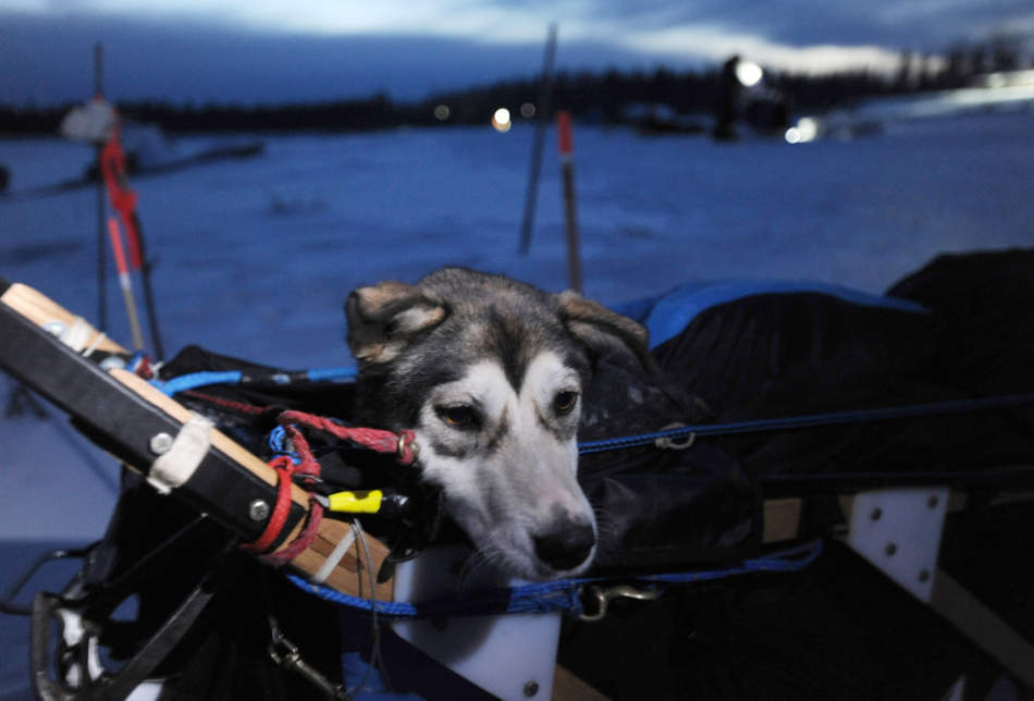 Eighteen-month-old Beatrice rides in the sled of Iditarod musher Kristy Berington as she arrived to the village of Nikolai on the South Fork of the Kuskokwim River on Tuesday, Mar. 5, 2013.  Beatrice remained with the team to eat and rest before a decision was made to drop her or not. (AP Photo/The Anchorage Daily News, Bill Roth) LOCAL TV OUT (KTUU-TV, KTVA-TV) LOCAL PRINT OUT (THE ANCHORAGE PRESS, THE ALASKA DISPATCH)