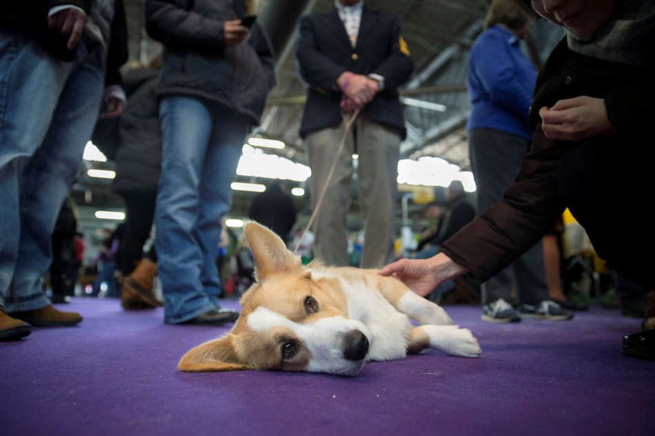 Dewey, a Cardigan Welsh Corgi, rests after competing in the Westminster Kennel Club dog show, Monday, Feb. 10, 2014, in New York. (AP Photo/John Minchillo)