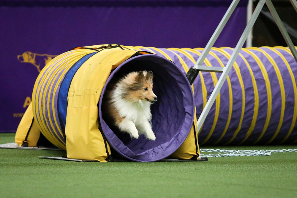 Spring, a Shetland Sheepdog, exits the tunnel obstacle during the Masters Agility Championship the Westminster Kennel Club staged at Pier 94, Saturday, Feb. 8, 2014, in New York. The competition marks the first time mixed-breed dogs have appeared at Westminster since early in the show's 138 years. (AP Photo/John Minchillo)