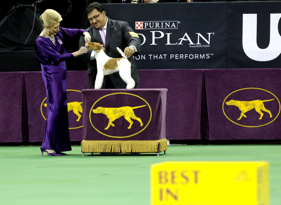 Sky, a wire fox terrier, competes in the best in show group during the Westminster Kennel Club dog show, Tuesday, Feb. 11, 2014, in New York. Sky became America's top dog Tuesday night, winning best in show. (AP Photo/Frank Franklin II)