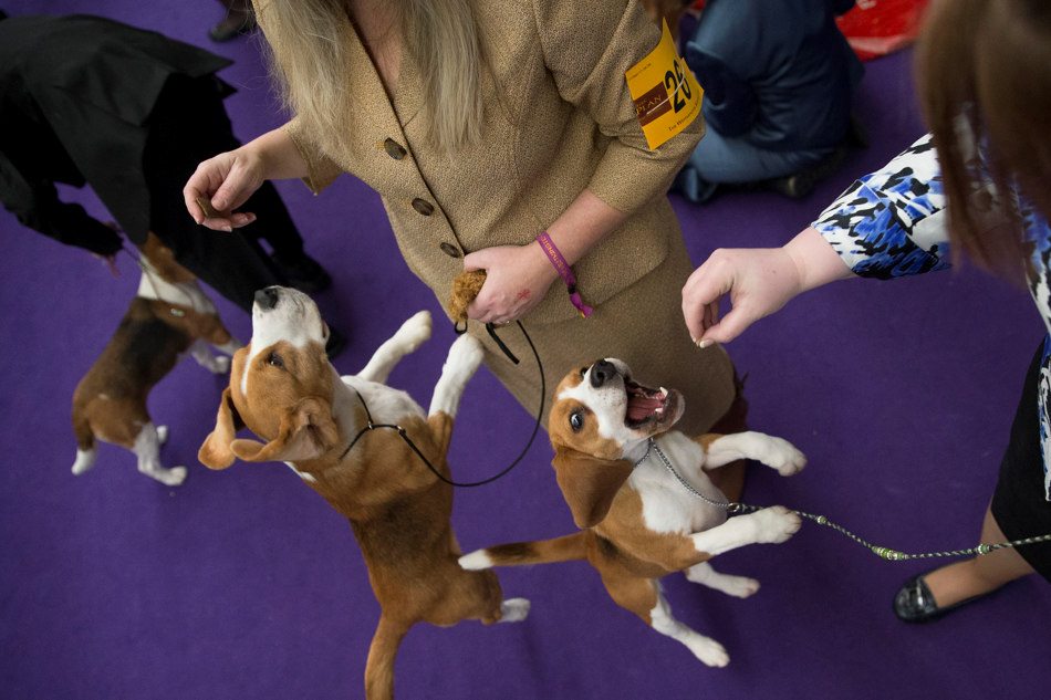 Beagles leap for treats in the staging area at the Westminster Kennel Club dog show, Monday, Feb. 10, 2014, in New York. (AP Photo/John Minchillo)