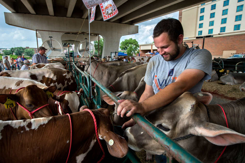 FRED ZWICKY/JOURNAL STAR East Peoria gets overrun with cows, or at least under the Bob Michel Bridge, as the Ayrshire and Brown Swiss associations hold their purebred dairy cattle conventions Friday, June 27 at the Embassy Suites. Jake Stewart of Bartonville, a University of Illinois animal science student, helps keep the cows fed before the auction.