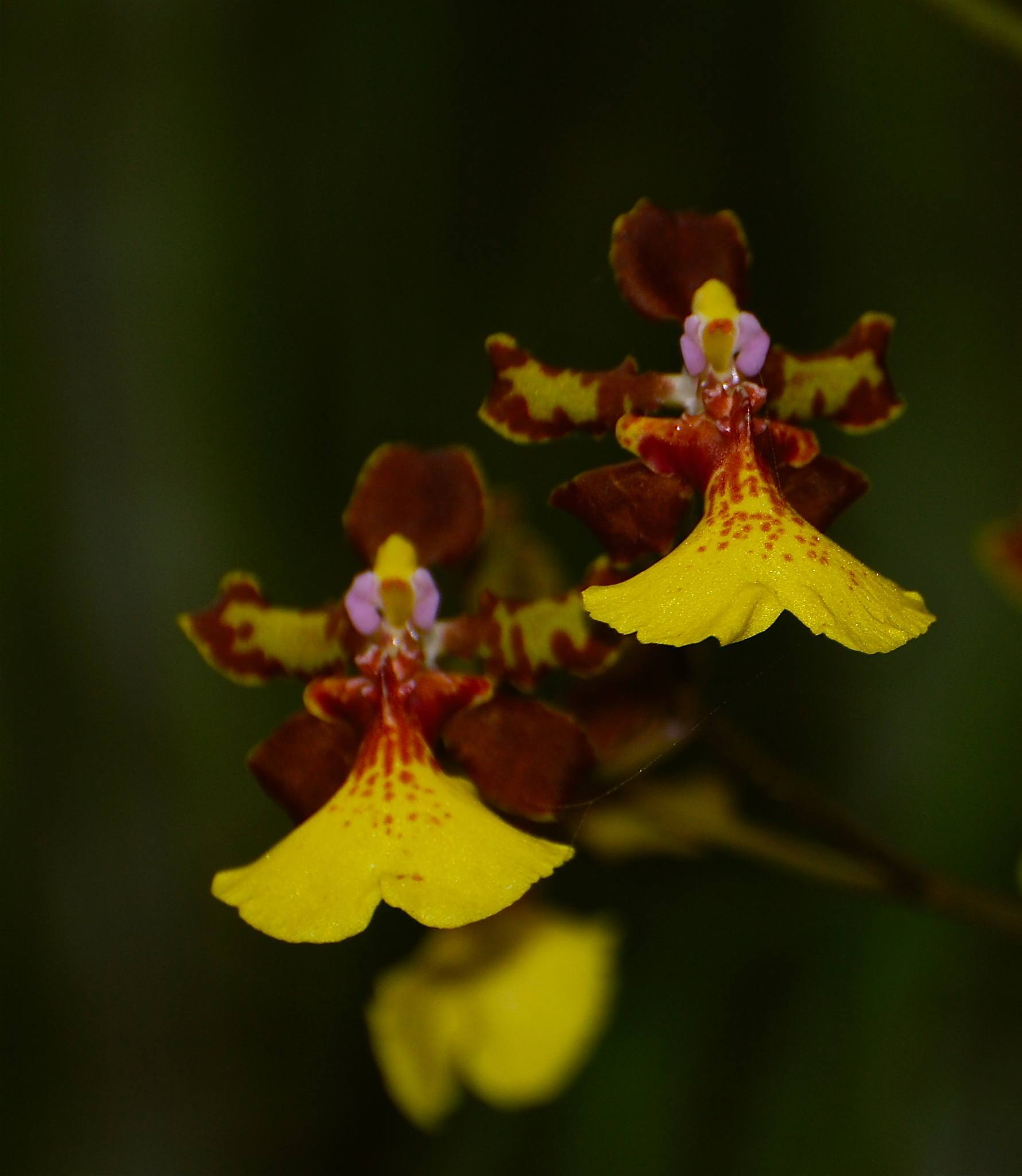 Orchids in the Singapore Botanic gardens