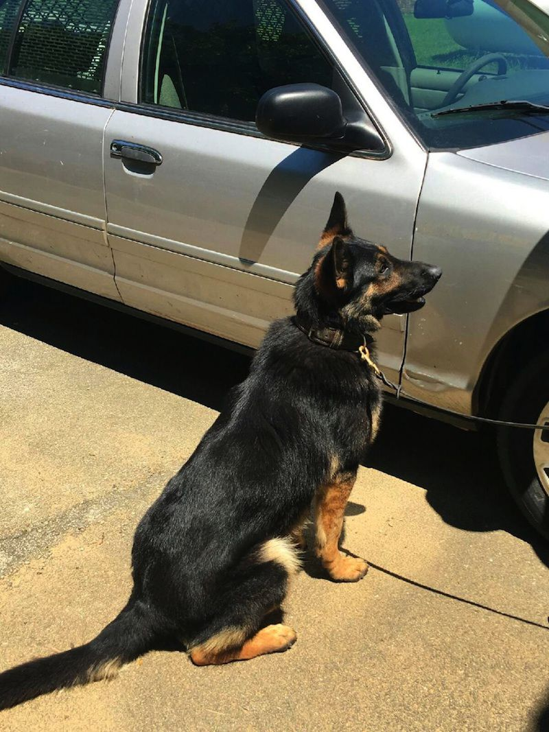 Formidable Police Dog Alex Too Will Be Replaced Police Dog Alex Too Will Be Replaced Crime Police Dog Breeds Nz Police Dog Breeds India bark post Police Dog Breeds