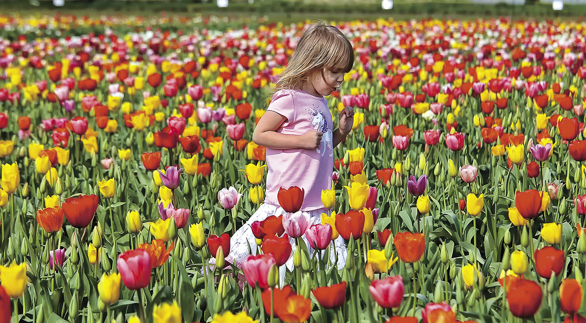 Showy Color To Woodland Tulip Farm Holland Bulb Farms Reviews Holland Bulb Farms Facebook Early Tulips Warm Wear Brings Early Burst houzz-03 Holland Bulb Farms