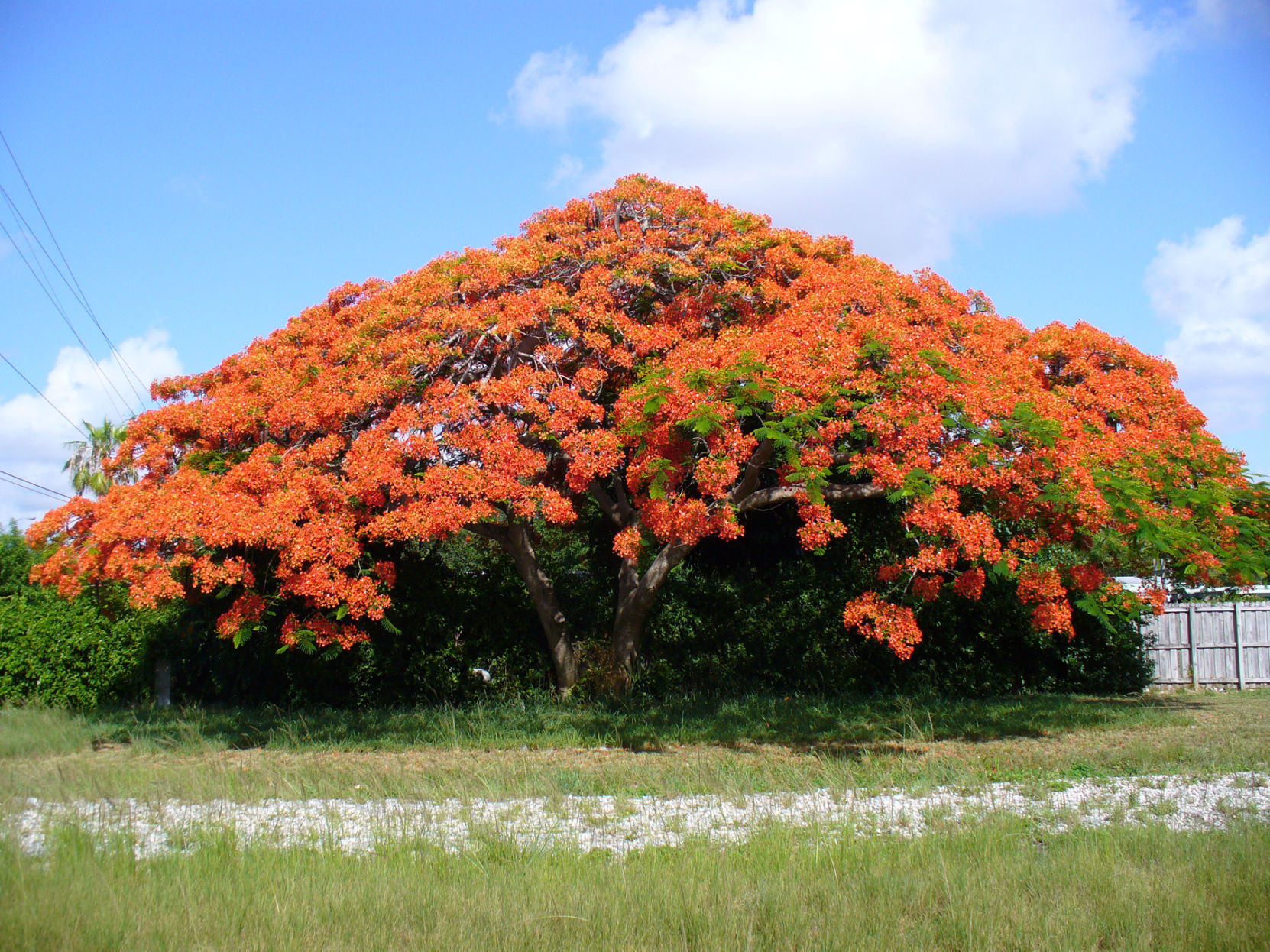 Swish Growing Royal Poinciana Trees Growing Royal Poinciana Trees Royal Poinciana Tree Images Royal Poinciana Tree Phoenix houzz 01 Royal Poinciana Tree
