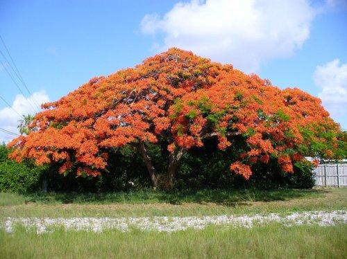 Medium Of Royal Poinciana Tree