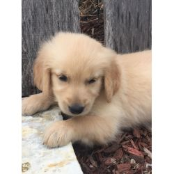 Small Crop Of Pictures Of Golden Retrievers