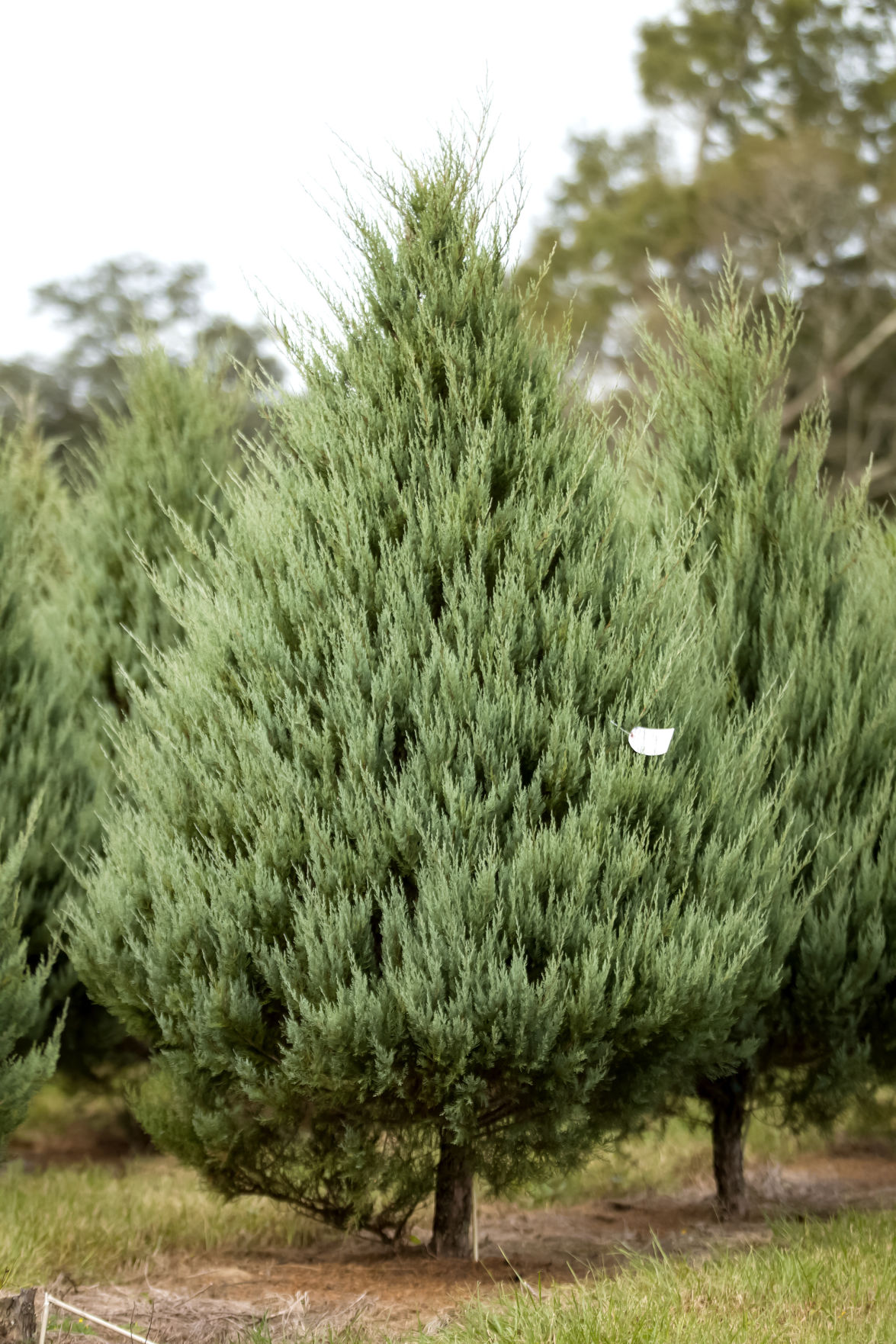 Fullsize Of Carolina Sapphire Cypress