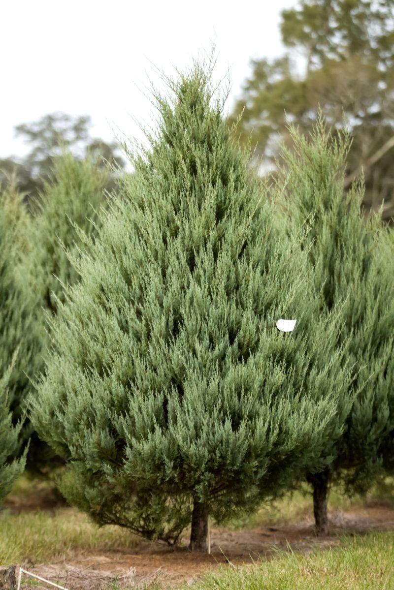 Large Of Carolina Sapphire Cypress