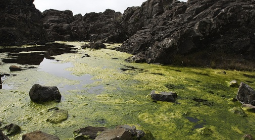 "Could algae be the alchemy of sewage into ""biocrude?"""