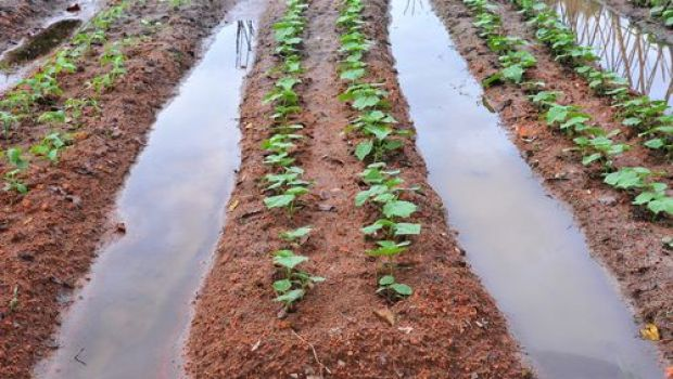 Vegetable farming with irrigation