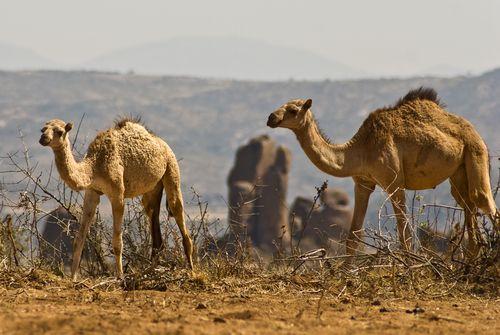 Camels in the Somali Desert