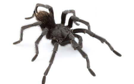 New tarantula is named after music legend Johnny Cash
