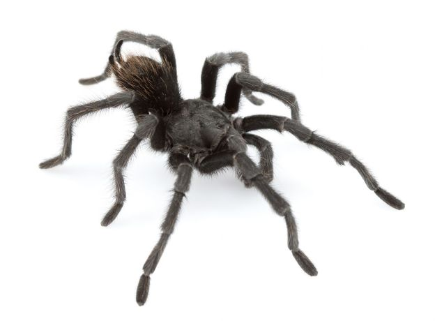This photo obtained Feb 4, 2016, courtesy of Mr Chris Hamilton, shows the Johnny Cash spider (Aphonopelma johnnycashi). Photo: AFP