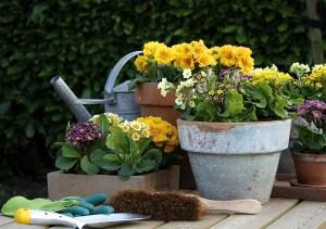 Nostalgisch muten Stängelprimeln an. Mit ihren kleinen, zum Teil zweifarbigen Blüten sind sie dieses Frühjahr voll im Trend. (Bildnachweis: GMH/FGJ)