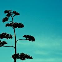 Starglemorph Tree - Laguna Beach | Blurbomat.com