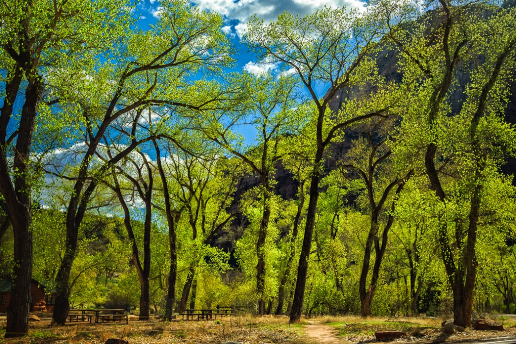 Grotto Trees – Zion National Park