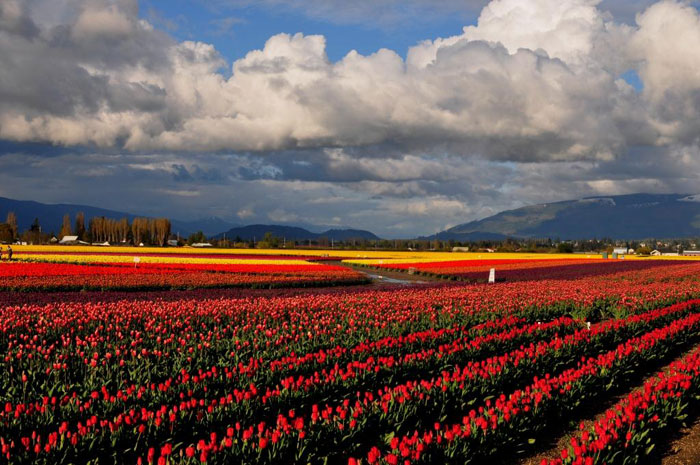 Washington's Skagit Valley is better known for its amazing annual tulip festival. But home sellers are making bank there, too. (Photo from TulipFestival.org. Click for more on the festival or RoozeGarde growers.