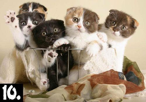 SCOTTISH FOLD CAT TOP TEN POPULAR LIST