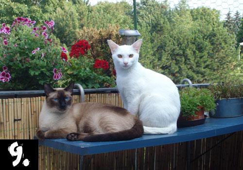 Siamese Cat Top 10 Popular Cat Breeds
