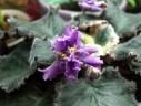 Violets January 2013