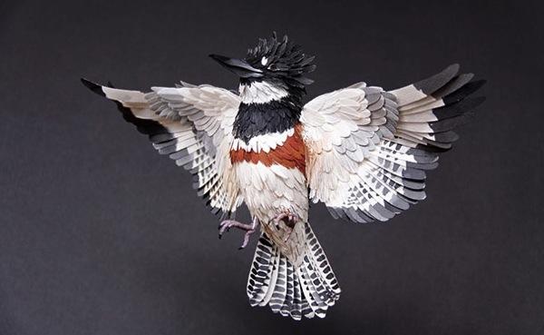 Belted kingfisher diana beltran herrera