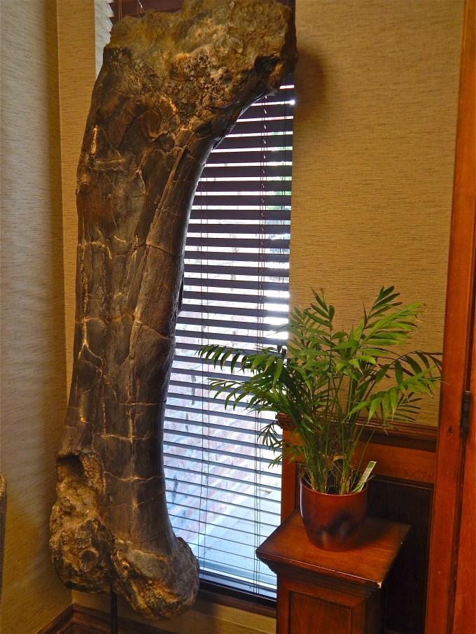 9_Brachisaurus femur