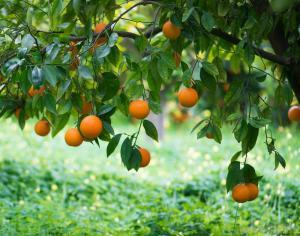 orange-tree