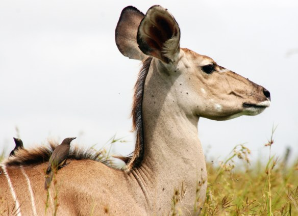 Kudu & oxpeckers