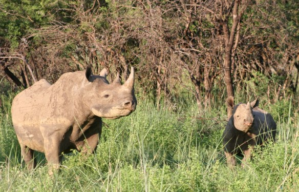 Black rhino & calf
