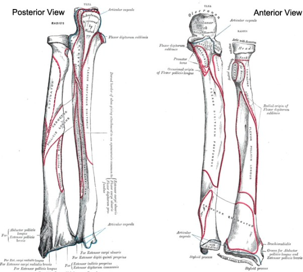 Radius bone and Ulna bone