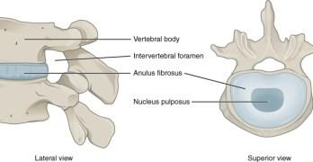 Intervertebral Disc Anatomy and Biomechanics