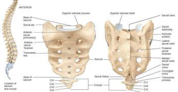 Sacrum Bone Anatomy