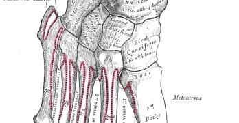 Tarsal Bones – Anatomy and Attachments