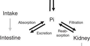 Phosphorus Metabolism