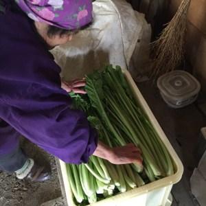 箱いっぱいまで積む 野沢菜