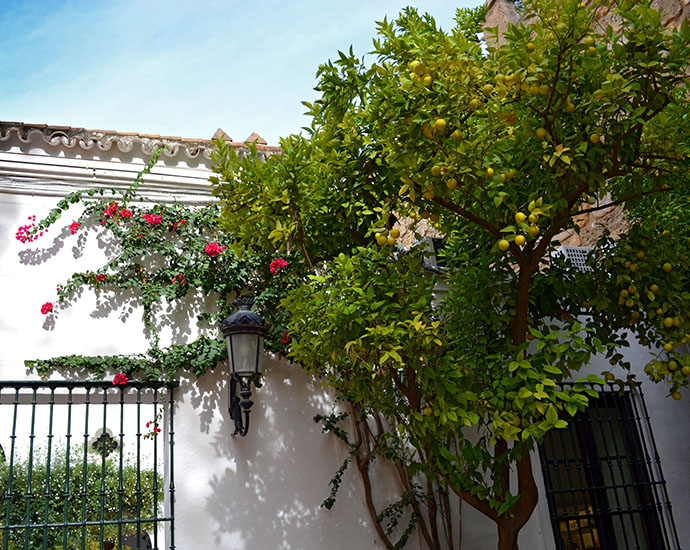 Seville orange marmalade trees