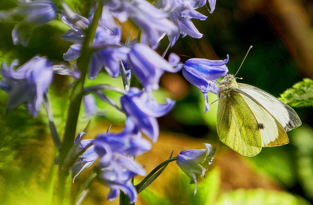 A fleeting moment of beauty as a butterfly alights on a bluebell in the Blue Forest in Halle in Belgium