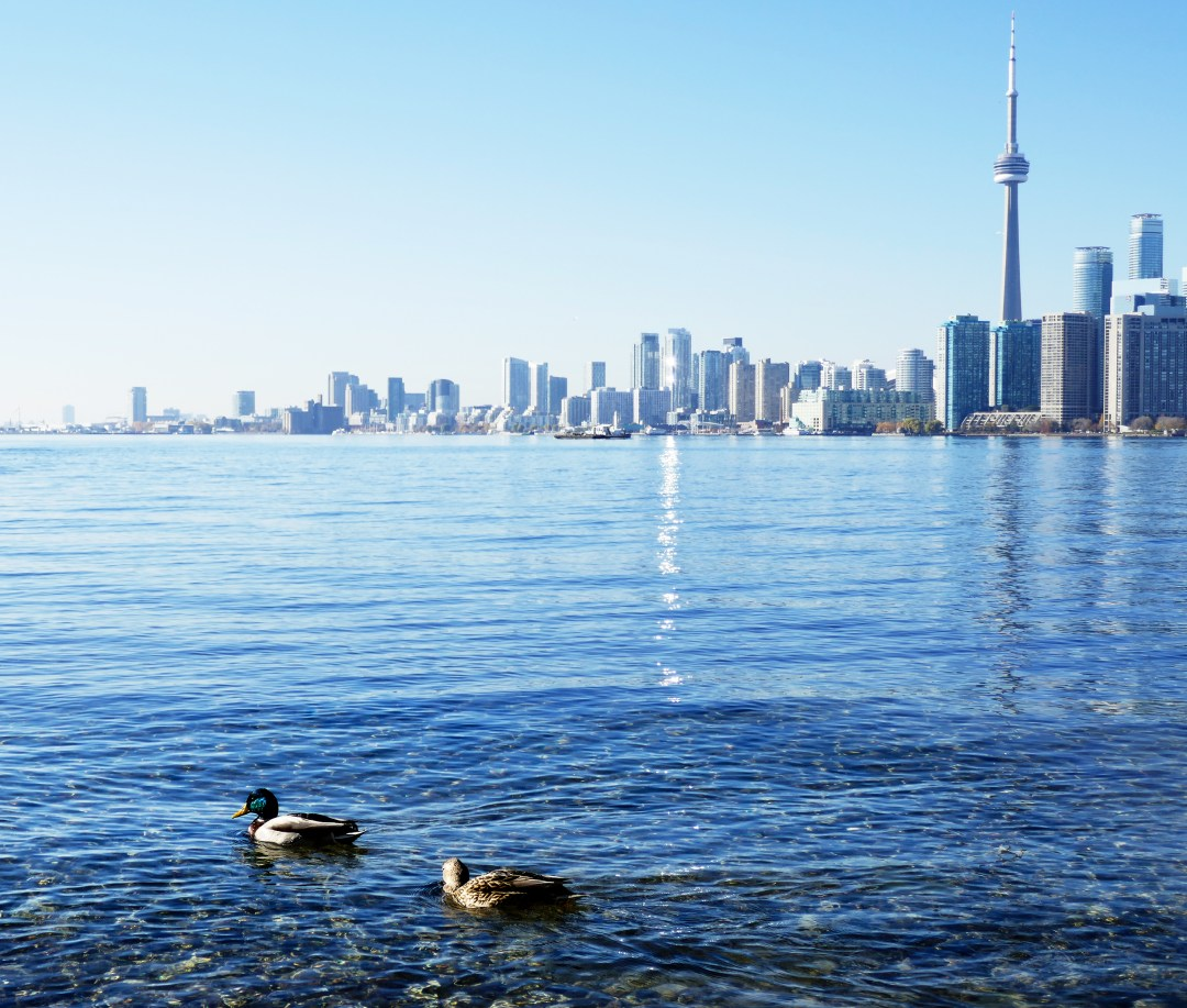 Ducks swimming on Toronto Island with view of CN Tower