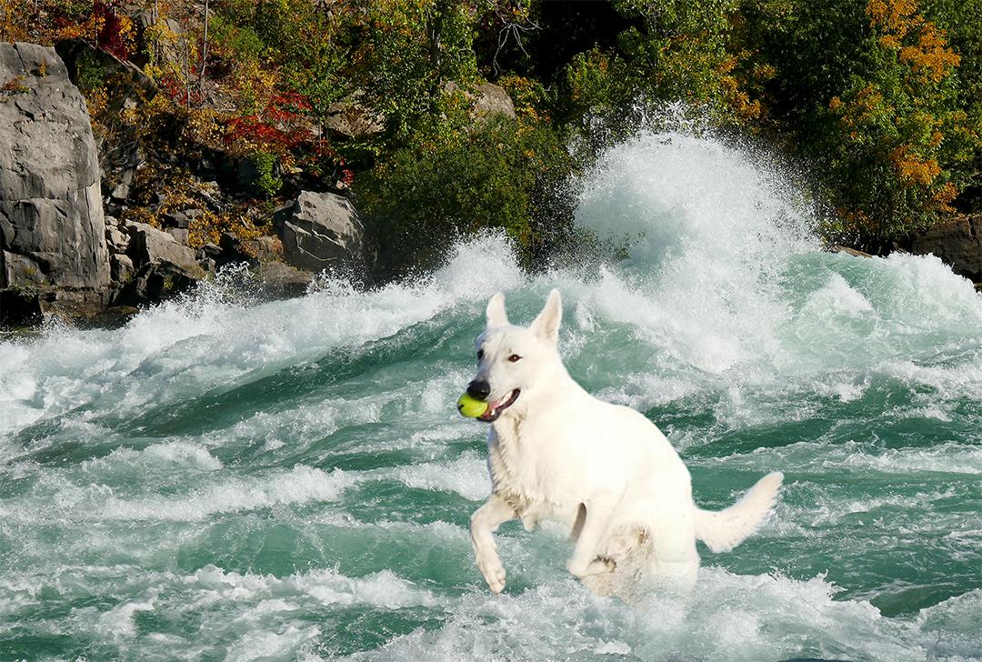 Superdog Bauer in Class 6 rapids at Niagara Gorge