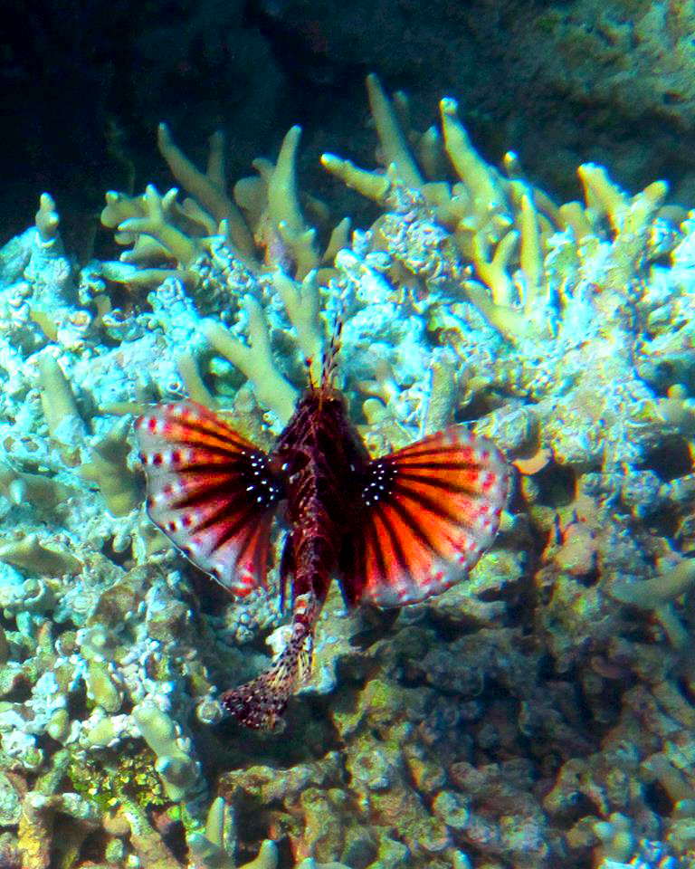 Lion fish in Bunaken for boomervoice